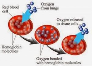 fungsi sel darah merah